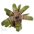 Bromelia 'Vriesea fosteriana'