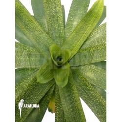 Vriesea gigantea 'XL'