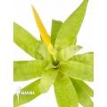 Bromelia 'Vriesea ospinae' 'Starter'