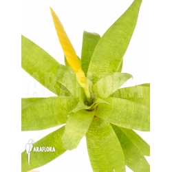 Vriesea ospinae Starter