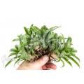 Bromelia 'Vriesea racinae' '5-deal (5x)'