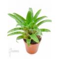 Bromelia 'Vriesea racinae´ starter