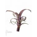 Bromelia 'Vriesea saundersii' starter