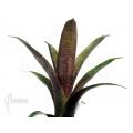 Bromelia 'Vriesea seideliana'