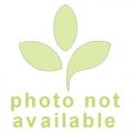 Bromelia 'Vriesea pardalina 'Lacy'
