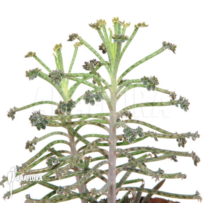 araflora exotische flora meer kalanchoe delagoensis tubiflora. Black Bedroom Furniture Sets. Home Design Ideas