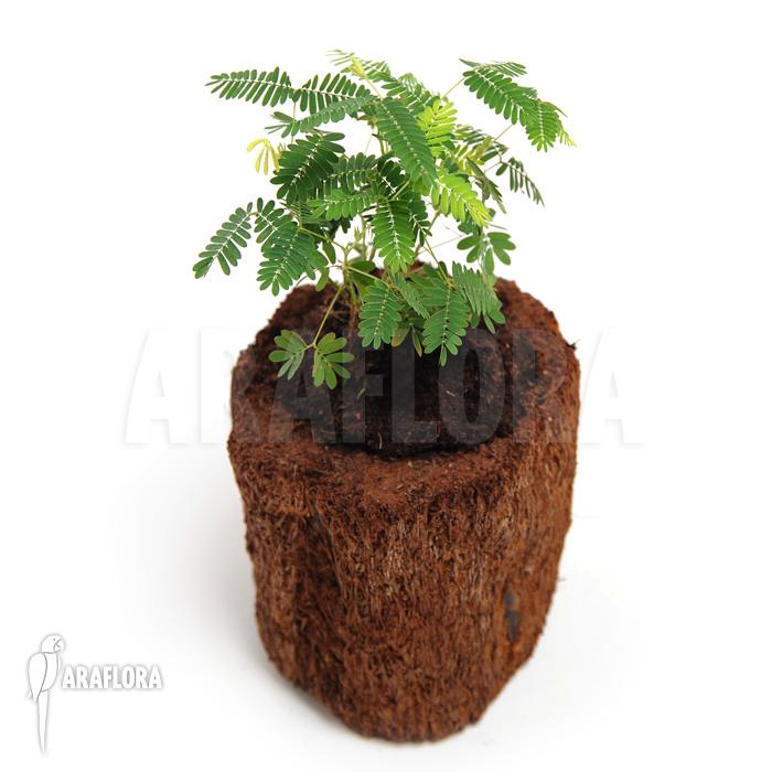verzorging mimosa plant potplanten buiten schaduw. Black Bedroom Furniture Sets. Home Design Ideas